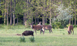 Röda hjortar och vildsvin på äng Royaltyfria Bilder