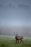 Röda hjortar på dimmig morgon Royaltyfri Foto
