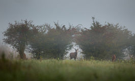 Röda hjortar på dimmig morgon Arkivbilder