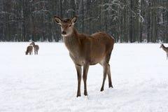 Röda hjortar på en kall vintrig dag i snö Fotografering för Bildbyråer