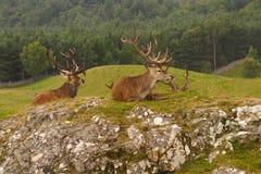 Röda hjortar, skotsk Skotska högländerna Royaltyfri Foto