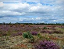 Röda hjortar som går över en hed arkivbilder