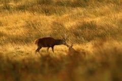 Röda hjortar under brunsten Arkivbild