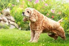 Röda hundengelska skämmer bort spanielen i en trädgård Arkivbilder