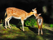 Röda i träda Deers Royaltyfri Fotografi