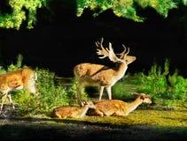 Röda i träda Deers Arkivbilder