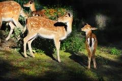 Röda i träda Deers Arkivfoto