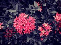 Röda Ixora Royaltyfri Foto