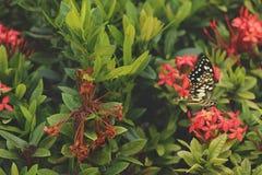 Röda Ixora Bush med torra blommor och den gröna fjärilen royaltyfria bilder