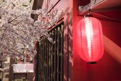 Röda japanska lyktor med det sakura trädet Royaltyfri Foto