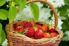 röda jordgubbar Royaltyfria Bilder