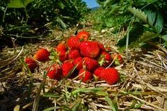 röda jordgubbar Royaltyfria Foton