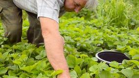 Röda jordgubbar, moget, samlar en man i trädgården på kolonin Jordgubbeskördsäsong stock video