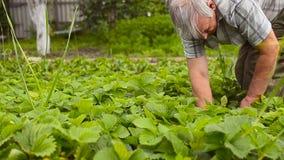 Röda jordgubbar, moget, samlar en man i trädgården på kolonin Jordgubbeskördsäsong lager videofilmer