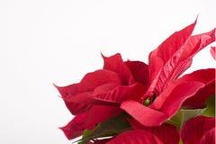 röda julblommagåvor Fotografering för Bildbyråer