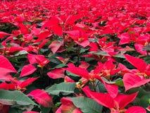 röda julblommor för julstjärna royaltyfri bild