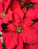 Röda julstjärnablommor royaltyfria foton