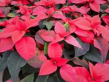 Röda julstjärnablomningväxter arkivfoto