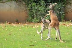 Röda kängurur Arkivfoton