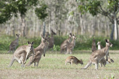 röda kängurur Arkivbild