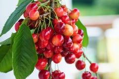 Röda körsbär royaltyfri bild