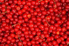 Röda körsbär Bakgrund Royaltyfria Bilder