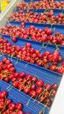 Röda körsbär i packhouse i Nya Zeeland arkivbild