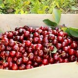 Röda körsbär i spjällåda Arkivfoton