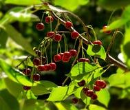 Röda körsbär i trädet Arkivfoto