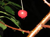 Röda körsbär på baksidan av trädet royaltyfri fotografi