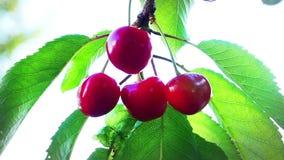 Röda körsbär på ett träd - video för frukt för röd Prunusavium organisk stock video
