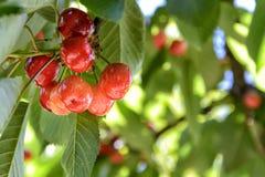 Röda körsbär som mognar på trädet Royaltyfri Bild