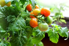 Röda körsbärsröda tomater Royaltyfri Bild
