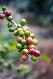 Röda kaffebönor på en filial av kaffeträdet, royaltyfria bilder