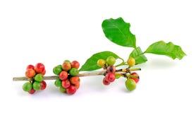 Röda kaffebönor på filial arkivfoto