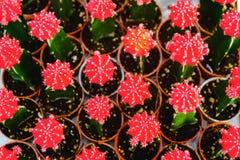 Röda kaktusblommor i krukor på kaktuns shoppar i blommamarknad Arkivfoto