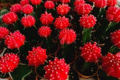Röda kaktusblommor i krukor på kaktuns shoppar i blommamarknad Royaltyfria Foton