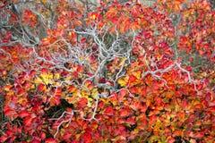 Röda Karsian Smoketree Arkivbilder