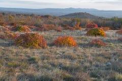Röda Karsian Smoketree Royaltyfria Foton