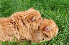 röda katter Arkivbilder