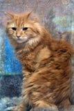 röda kattfoto i retro stil Arkivfoton