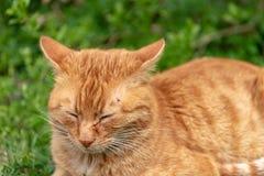 R?da kattl?gner kopplade av i gr?set och har en f?sting ?ver ?gat p? huvudet arkivbild