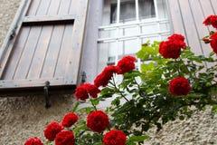 Röda klättringrosor för Closeup framme av ett landsfönster Royaltyfria Foton