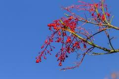Röda knoppblommor för vår Arkivbilder