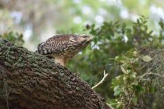 Röda knuffade Hawk On The Lookout Arkivbilder