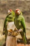 Röda krönade papegojor som äter havre Royaltyfria Bilder