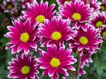 Röda krysantemum Royaltyfria Bilder