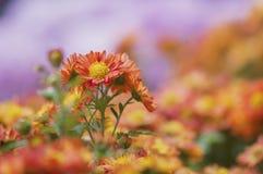 Röda krysantemum i parkera Royaltyfri Foto