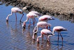 Röda kulöra flamingo i en sjö i Serengeti Tanzania Arkivfoto