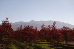 Röda kulöra träd mot bergen Fotografering för Bildbyråer